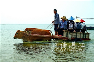Oxen take to sea like ducks to water