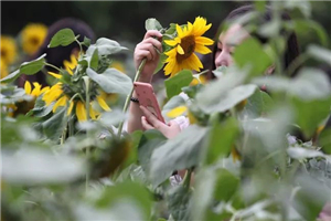 Visitors asked to protect sunflowers