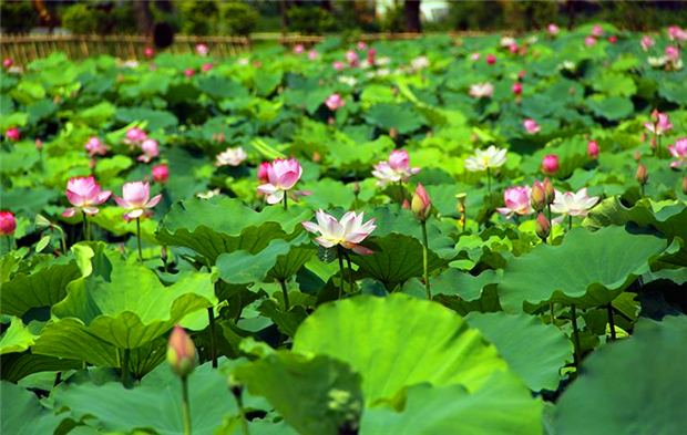 Features ode to the lotus flower lotus ponds in guangzhou mightylinksfo